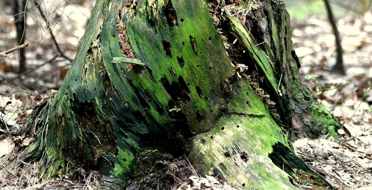 Štor in korenine